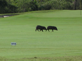 Javelina on Cozumel golf course